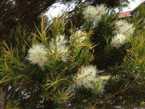 A paperbark tree flowering in Mooroolbark